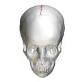 Sagittal suture - skull - anterior view02.png