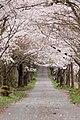Sakura flower in Maniwa, Okayama Prefecture; April 2012 (12).jpg