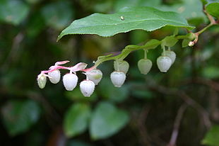 Salal (Gaultheria shallon) Leaf and Flowers.jpg