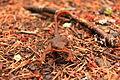 Salamander (11424209986).jpg