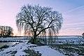 Salix alba 4 seasons WinterSpring (005).jpg