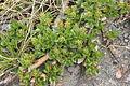 Salix retusa (Stumpfblatt-Weide) IMG 5767.jpg