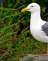 """San Francisco - Alcatraz Seagull """"From out of the Grass"""" (383309976).jpg"""