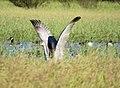 Sandhill Crane (21713597094).jpg