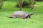 Santa Cruz giant tortoise 03.jpg