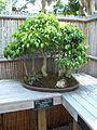 Sarasota FL Selby Gardens bonsai ficus b01.jpg