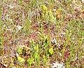 Sarracenia purpurea (5086961132).jpg