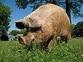 Sasha Farm Sanctuary Pig 2.jpg