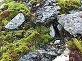 Saxifraga stellaris habitat.jpg