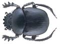 Scarabaeus sacer Linné, 1758 (28486691625).png