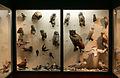 Schaukasten der Vogelsammlung Karl Steinparz.jpg