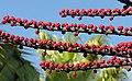 Schefflera actinophylla (13884945592).jpg