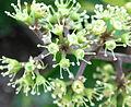 Schefflera arboricola kz4.JPG