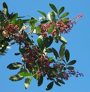 Brazilian pepper tree (Schinus terebinthifolia)