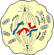 Schmetaphase.png