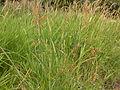 Schoenoplectus tabernaemontani (Scirpus validus) (4155053763).jpg