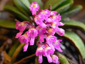 Schoenorchis fragrans.jpg