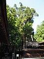 Sciadopitys verticillata at Aburahi jinja in Koka.jpg