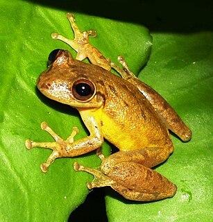 <i>Scinax staufferi</i> species of amphibian