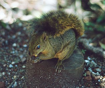 Bangs's mountain squirrel Sciuridae Poas1.jpg