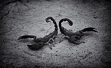Deadly scorpions of Tharparkar
