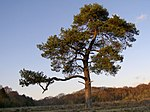 File:Scots pine on wet heath south of Withycombe Shade, New Forest - geograph.org.uk - 294680.jpg