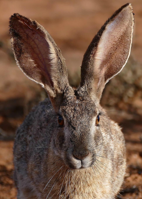 Scrub Hare (Lepus saxatilis) close-up (30544290256) (2)
