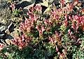 Scutellaria orientalis 1.jpg