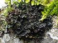 Scytinium gelatinosum 501552.jpg