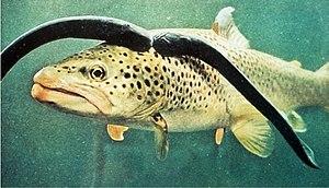 Sea lamprey - Two sea lamprey preying on a brown trout.