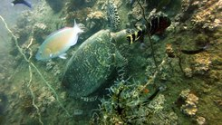 Податотека:Sea turtle at Koh Tao, Thailand.ogv