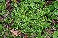 Sedum cepaea plant (33).jpg