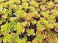 Sedum spurium leaves (Caucasian stonecrop).jpg