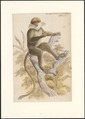 Semnopithecus pallidus - 1749-1842 - Print - Iconographia Zoologica - Special Collections University of Amsterdam - UBA01 IZA1000853.tif
