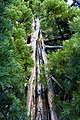 Sequoia di Ripacandida.jpg