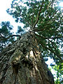 Sequoia géant Arboretum Allard.jpg