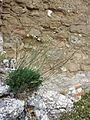 Seseli hippomarathrum sl9.jpg