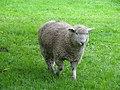 Sheep (10058893146).jpg