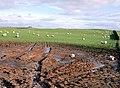 Sheep in a field near Overton - geograph.org.uk - 675107.jpg