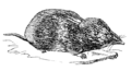 Shrew (PSF).png