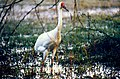 Siberian Crane (Grus leucogeranus) (20437405481).jpg