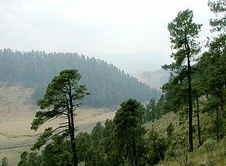 Cumbres del Ajusco National Park - Pinus hartwegii one of the many coniferous species in the Ajusco