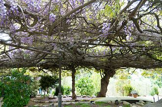 Sierra Madre, California - The Sierra Madre Wisteria