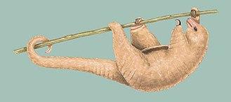 Cyclopedidae - Image: Silky anteater