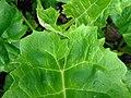 Silphium perfoliatum 2017-05-07 0114.jpg