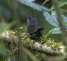 Silvery-fronted Tapaculo - Central Highlands - Costa Rica (26423533410).jpg