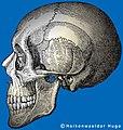 Skull-Schaedel.jpg