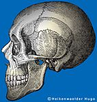 A human skull: the normal human face is basically vertical this causes an orthognathic face.