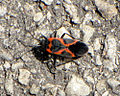 Small Milkweed Bug.jpg