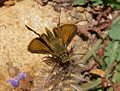 Small Skipper. Thymelicus sylvestris - Flickr - gailhampshire.jpg